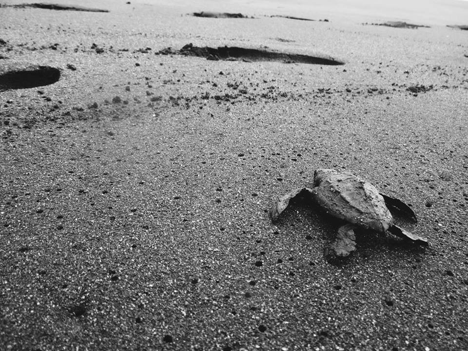 Olive Ridley