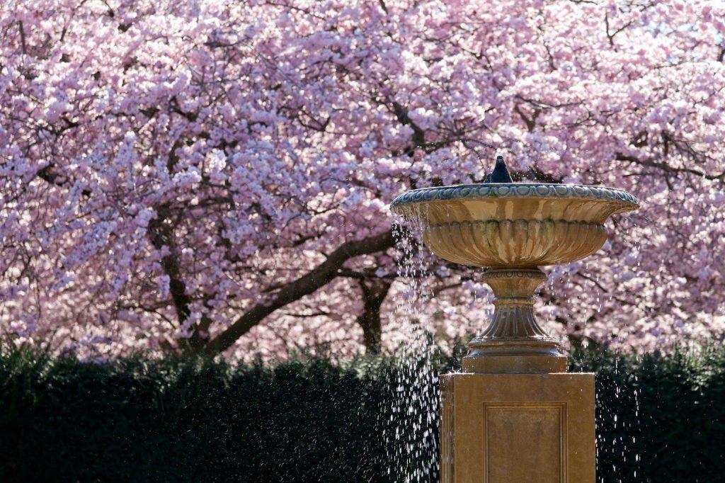 City Life Cardiff Cherry Tree